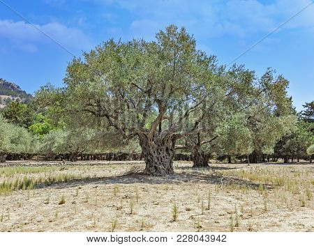 Ancient Olive Trees Trunks In Rhodes Island On Sunny Day In Greece.