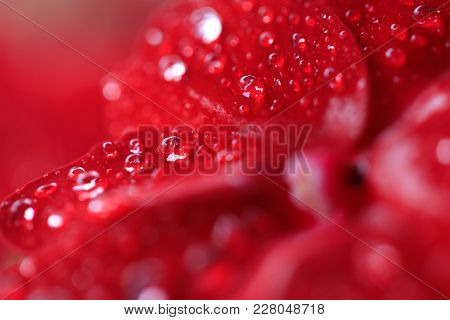 Red Begonia Flowers With Rain Drops. Blurred Begonia Background With Water Drops Closeup. Nature. En
