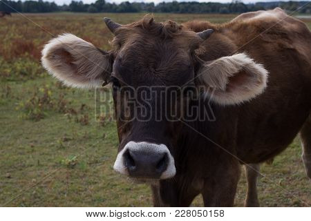 Braun Cow Portrait. Young Cattle On The Field Near Farm