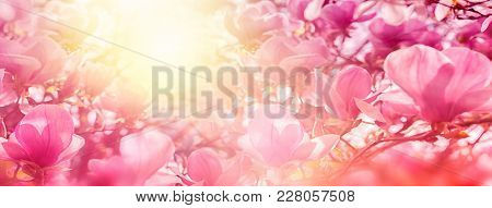 Blossoming Of Magnolia Flowers In Sun Light Backlit, Shallow Depth. Soft Vintage Toned. Greeting Car
