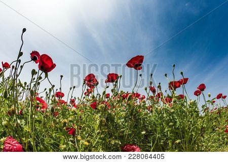 Early spring in Israel. Cool spring sun illuminates beautiful flowers - red anemones. Concept of ecological and rural tourism