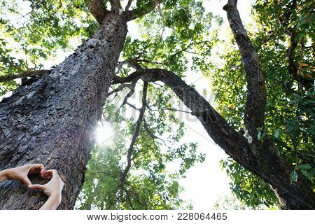 Hug Big Tree, Concept Nature And People.