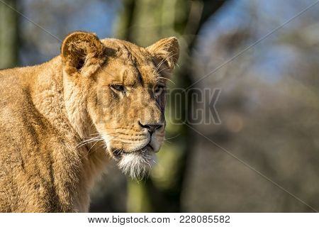 Close Up Of Female Lion Standing On A Brach Of A Tree