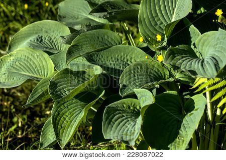Leaves Hosta Growing In A Summer Garden.