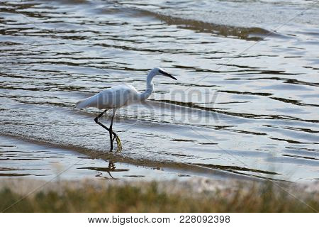 Little White Egretta Garzetta Is Fishing In The Adriatic Sea On The Morning