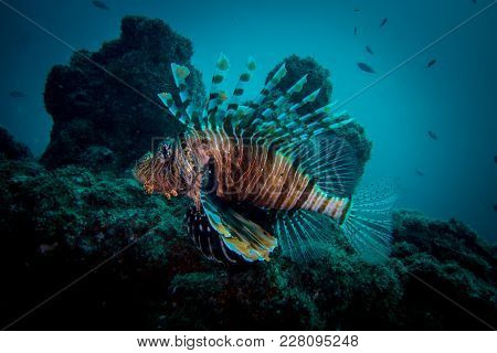 Portrait Of A Lion Fish In The Oman Hallanyiat Island