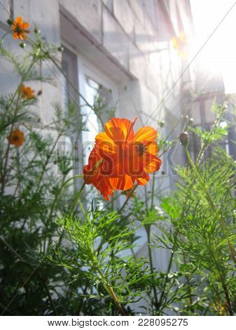 Orange Sunlit Flower Of Cosmos Sulphureus. Balcony Greening.