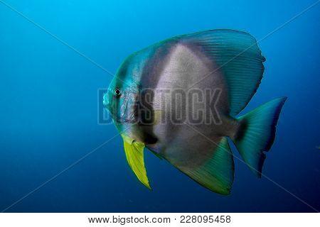 Portrait Of A Bat Fish In The Oman Hallanyiat Island