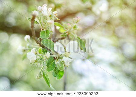 Sprig Of Apple Flowers. Close-up. Blurred Background