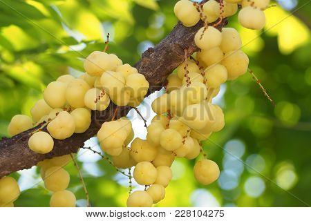 Raw Star Gooseberry With Leaf Bokeh Background. Asian Fruit, Acid Taste.