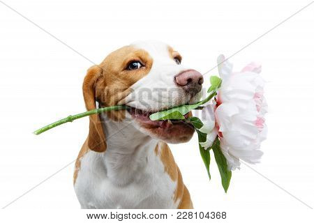 Beautiful Beagle Dog Girl Holding Peony Flower Isolated On White Background. Studio Shot. Copy Space