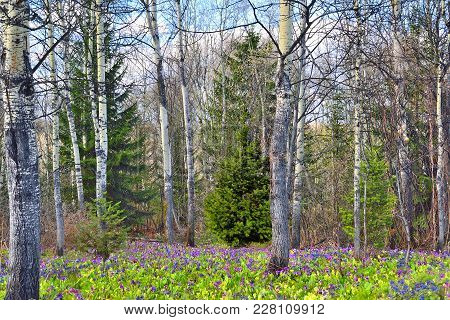 Picturesque Spring Forest Landscape. Earth Is Covered By Multi-colored Carpet Of The First Wild Flow