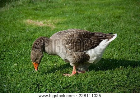 Big Brown Goose On A Green Field