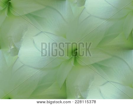 Amaryllis Blossom White And Pastel Green Centered, Shimmering And Dreamy.