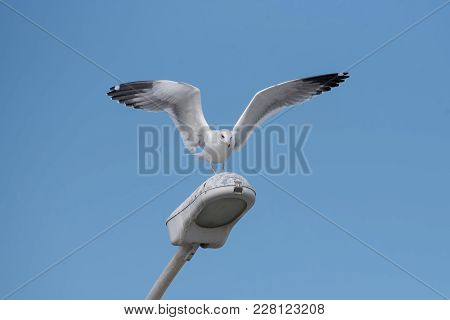 The Armenian Gull (larus Armenicus) Is A Large Gull Found In The Caucasus And Middle East