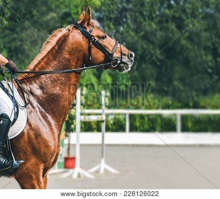 Man In White Uniform And Sorrel Horse At Show Jumping Competition. Equestrian Sport Background. Dres