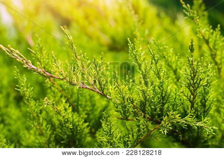 Green Young Juniper Branches Close Up. Background With Juniper Branches.  Sunny Day. Nature Wallpape