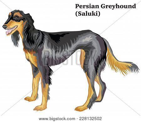 Portrait Of Standing In Profile Dog  Persian Greyhound (saluki), Vector Colorful Illustration Isolat