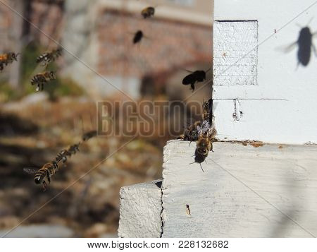 Honey Bees At Front Hive Entrance Close Up. Bee Flying To Hive. Honey Bee Drone Enter The Hive. Hive
