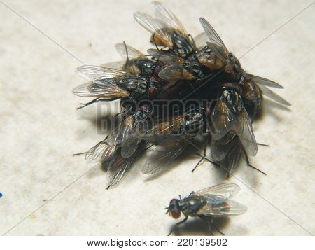 A Pile Of House Flies In A Feeding Frenzy.