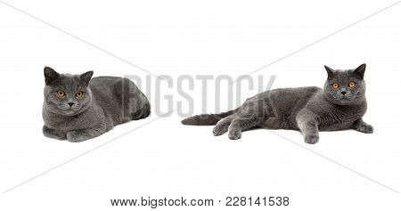 Gray Cat With Yellow Eyes Lies On A White Background. Horizontal Photo.