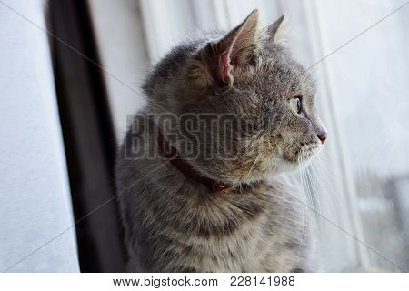Gray Cat Sitting On The Windowsill And Looking Out The Window