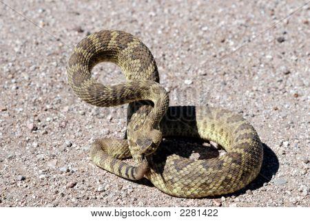 Mojave Rattlesnake Defense