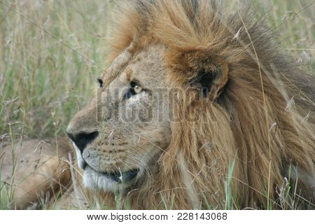 A Lion (panthera Leo) Simba In Swahili Language.