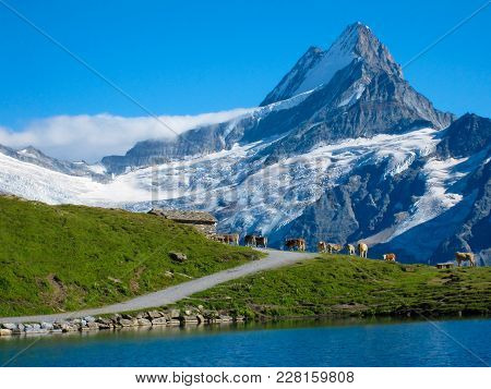 A Row Of Swiss Cows Standing On Alpine Meadow In Front Of A Snowy Mountain In The European Alps. Swi