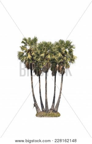 Toddy Palm Isolated On White Background With Clipping Path.