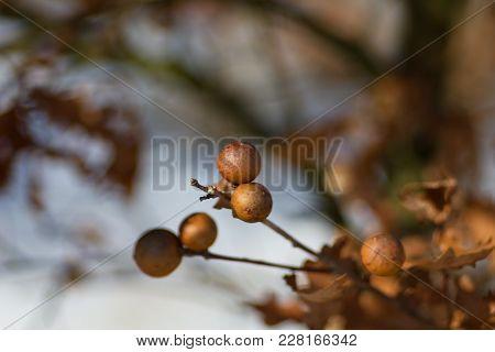 Oak Bead, Oak Apple, Oak, Hack On Spring Background.