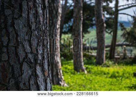 Small Forest Of Pine Trees And Grass