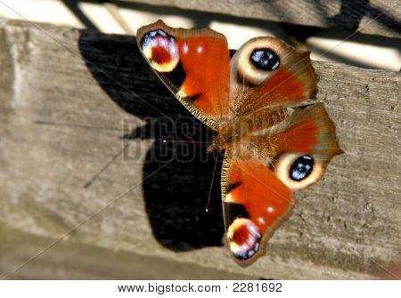 Peacock Eye Butterfly