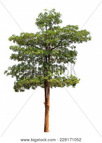 Isolated Tree With Green Leaf On White Background.