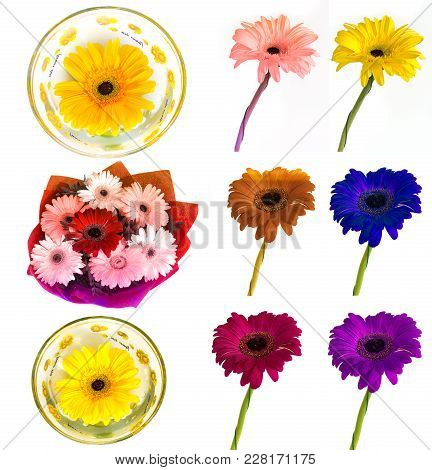 Lots Of Big Beautiful Flowers Gerbera With No Background, Gerber On Isolated Background Set Of Color