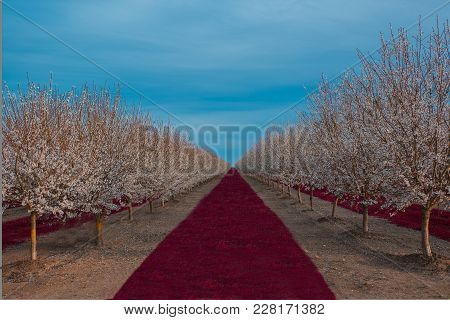 Cherry Blossom Valley Orchard Full Of Trees