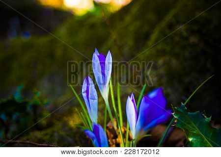 Crocus At Sunset In The Forest In Spring. Magical, Mistery.