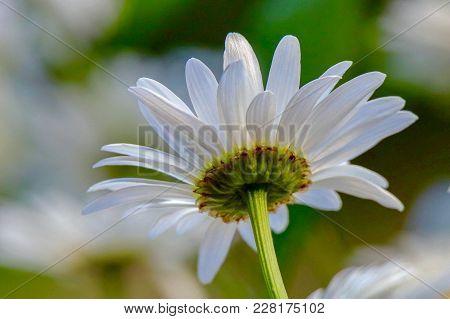 Closeup Of A Daisy On A Sunny Summer Day