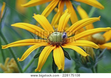 Closeup Of A Honey Bee On A Brilliant Yellow Sunflower