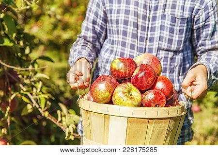 Man Holding A Basket With Ripe Apples. Apple Picking. Close Up. Copy Space For Your Text