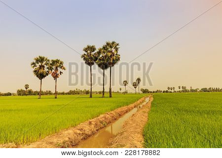Rice Paddy And Sugar Palm Or Toddy Palm Trees On Paddy Dike, Nature View Of Rural Area In Thailand