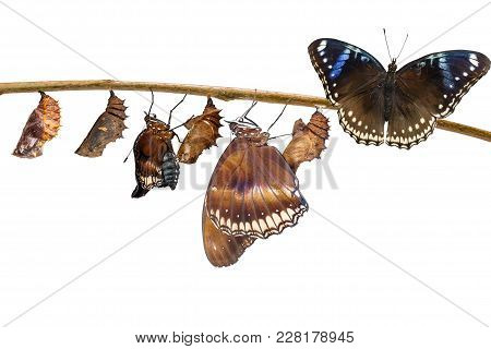 Isolated Transformation Of Female From Caterpillar To Great Eggfly Butterfly ( Hypolimnas Bolina Lin