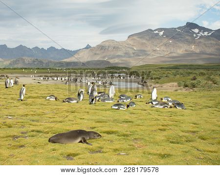 A Colony Of King Penguins With A Single Fur Seal In The Foreground. Some Penguins Are Molting. Thick