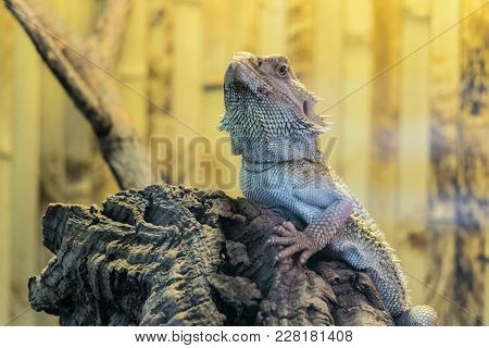 Bearded Agama Sits On A Wooden Branch In Terrarium. Face Of Bearded Dragon Lizard.