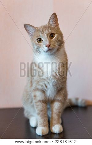 Beautiful Red Maine Coon Cat Sitting With Large Ears And Furry Tail Looking In Camera, Front View