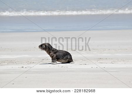 The Sea Lion Pup Is Looking For His Mother On The Beach At Seal Bay
