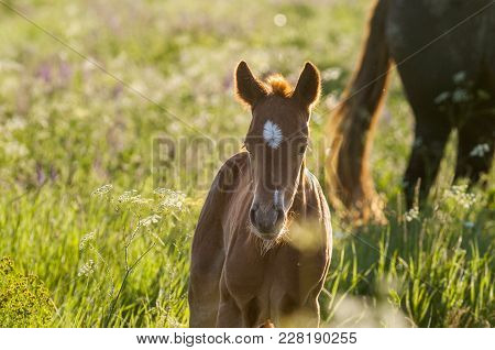 Horse Foal On Pasture. A Herd Of Wild Horses Shown On Water Island In Atmospheric Rostov State Reser