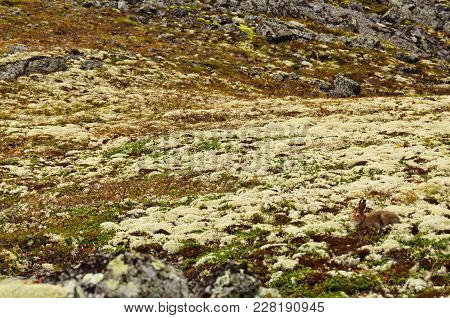 Camouflaged Hare Is Nearly Invisible In Tundra Among Rocks, Lichens And Mosses. A Hare Can Be Found