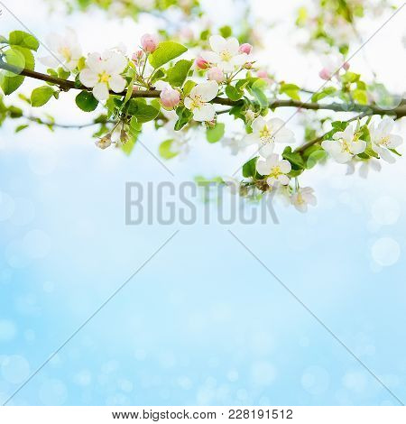 Beautiful Spring Nature Background. The Flowering Time Of Apple Trees. Branch With White Apple Bloss