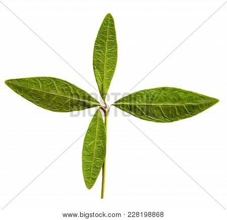 Oil Draw Illustration Of Set Dry Pressed Scattered Green Promissory Leaves, Isolated With Shadow. Ph